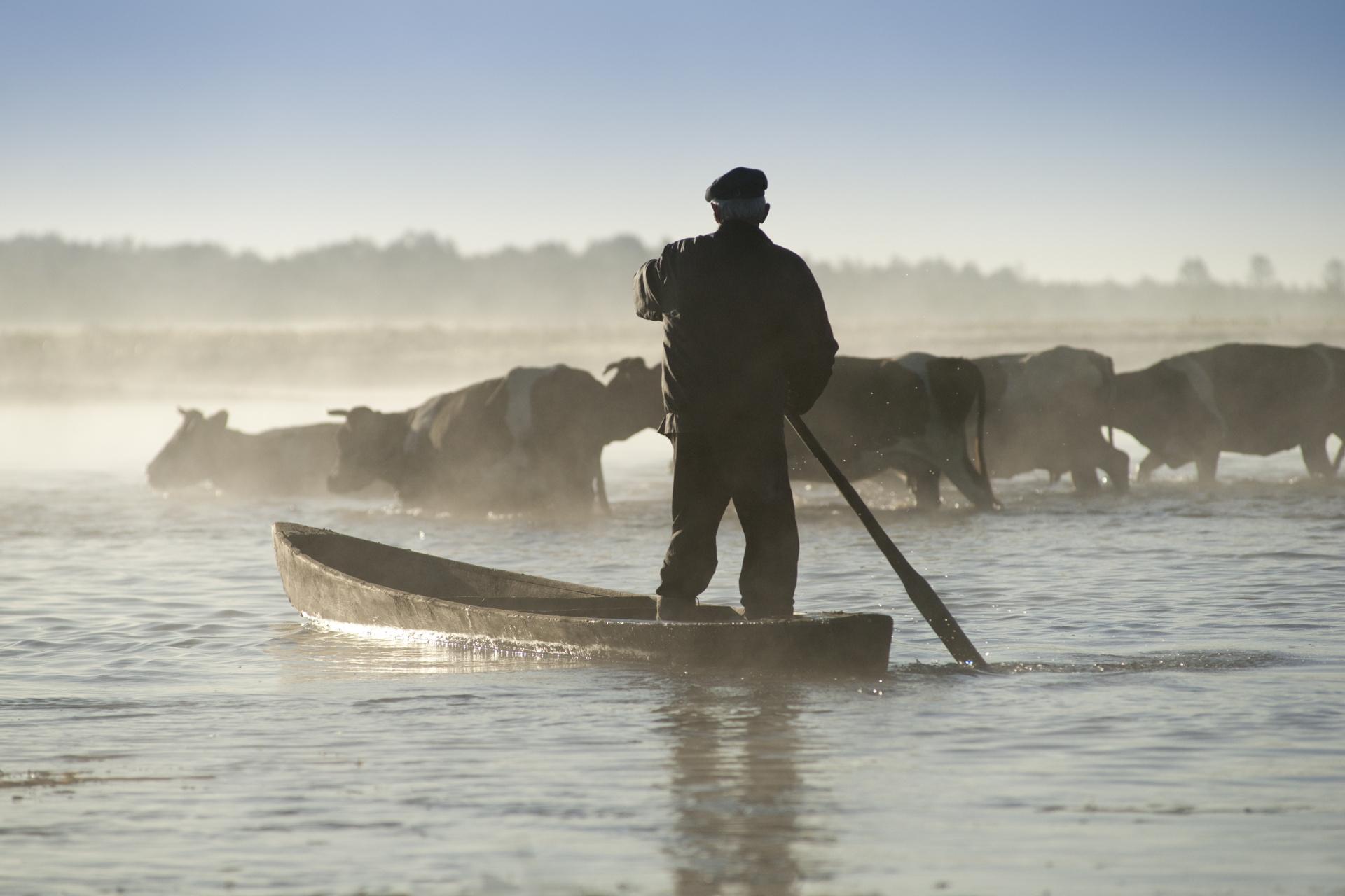 Rolnik na pychówce przeprawia swoje krowy przez rzekę. fot. Paweł Tadejko